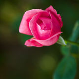 Beautiful pink rose. On green background Stock Photos
