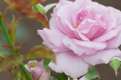 Beautiful pink rose with green leaf in flower garden. Stock Photo