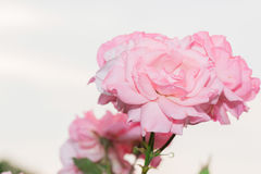 Beautiful pink rose with green leaf in flower garden. Stock Images