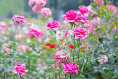 Beautiful pink rose with green leaf in flower garden. Royalty Free Stock Images