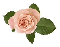 Beautiful pink Rose with green leaves Rosaceae isolated on white background. Germany Royalty Free Stock Photography