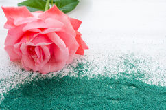 Beautiful pink rose with green sand on a white wooden background Royalty Free Stock Photo