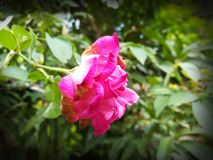 Natural Beautiful Pink Rose Closeup royalty free stock photos