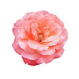 Beautiful pink rose isolated on white Stock Images