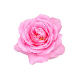 Beautiful pink rose isolated on white background Stock Photo