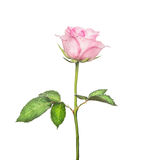 Beautiful pink rose on  long stalk with leaves, isolated on white. Background Stock Photo