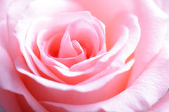 Pink rose macro Stock Image