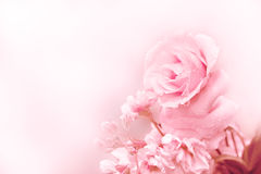 Beautiful pink rose in magic light Spring Stock Photography