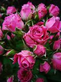 Beautiful pink rose of miniature size Stock Images
