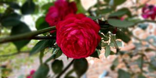 The beautiful pink rose royalty free stock photography