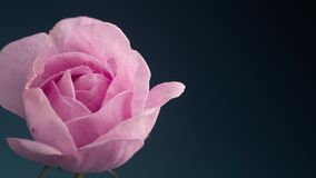Timelapse of Blooming Pink Rose Outdoors. Flower Opening Backdrop.