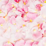 Beautiful pink rose petals. Flat lay, top view. Pastel background of petals stock photo