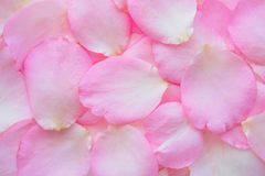 Beautiful pink rose petals for Valentines day background. Top view stock photography