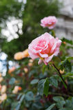 Beautiful pink rose Royalty Free Stock Photography