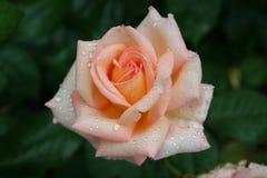 Beautiful pink rose with rain drops. Beautiful pink rose with raindrops in the garden Royalty Free Stock Image