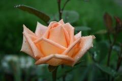 Beautiful pink rose with rain drops. Beautiful pink rose with raindrops in the garden Stock Image