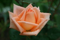 Beautiful pink rose with rain drops Royalty Free Stock Image