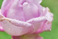 Beautiful pink rose with rain drops on the tender petals