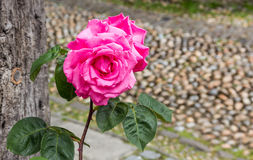 Beautiful pink rose seen against a cobblestone street background Royalty Free Stock Photos