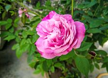 Beautiful Pink Rose And Selective Focus On Flower. royalty free stock photos