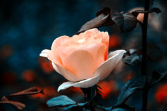 Beautiful pink rose. Single flower close up on dark blue background. Vintage colorful photo with wonderful bokeh Stock Photo