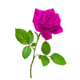 Beautiful pink rose. Single flower beautiful pink rose isolated white for design or greetingcard Stock Image