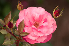 Beautiful pink rose in a summer garden. Overcast lighting. Stock Photography