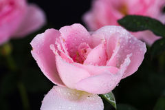Beautiful pink rose with water drop on black Stock Photo