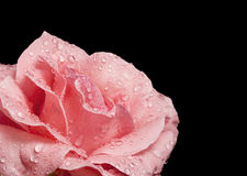 Beautiful pink rose Stock Image