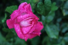 Beautiful  pink rose with water drops and green background royalty free stock images