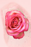 Beautiful pink rose with water drops Stock Image
