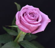 Beautiful pink rose. With waterdrops Stock Photography