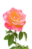 Beautiful pink rose Stock Photos