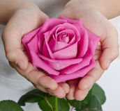 Beautiful pink rosebud Stock Images