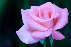 Beautiful pink roses Stock Photography
