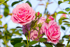 Beautiful pink roses Stock Images