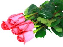 Beautiful pink roses . Royalty Free Stock Photos