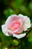 Beautiful Pink roses Royalty Free Stock Photo