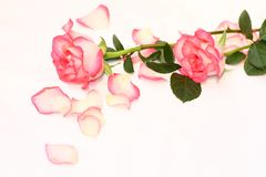 Beautiful, pink roses Royalty Free Stock Image