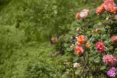 Beautiful pink roses Royalty Free Stock Image