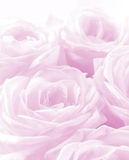 Beautiful pink roses as wedding background. Soft focus. High key Royalty Free Stock Images