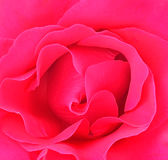 Beautiful pink roses  background Royalty Free Stock Photography