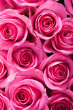 Beautiful pink roses background Royalty Free Stock Image