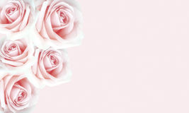 Beautiful pink roses background for Valentine`s day. Royalty Free Stock Photography
