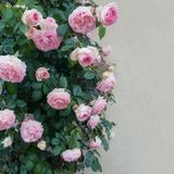 Beautiful pink roses. Outdoor on the wall background stock photos