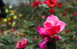 Pink Roses bloom on the tree. Beautiful Pink Roses bloom on the tree in the rose garden nature background Royalty Free Stock Image