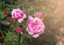 Pink Roses bloom on the tree. Beautiful Pink Roses bloom on the tree in the rose garden Stock Photography