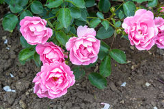 Beautiful pink roses blooming in the garden Stock Photos
