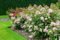 Beautiful pink roses blooming in the garden Stock Image