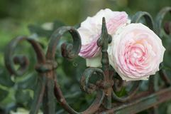 Beautiful pink roses blooming on a garden fence Stock Images